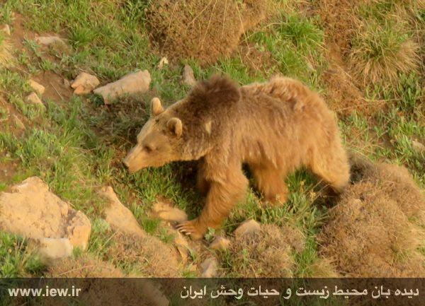 950323 kamali alborz 5 در رخدادی کم مثل از پلنگ و خرس قهوه ای در البرز مرکزی تصویربرداری شد