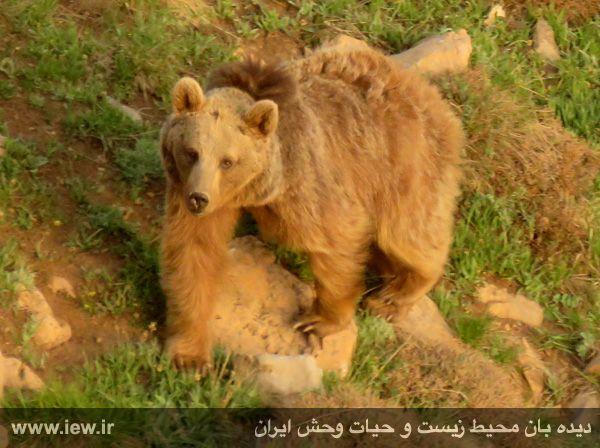 950323 kamali alborz 6 در رخدادی کم مثل از پلنگ و خرس قهوه ای در البرز مرکزی تصویربرداری شد