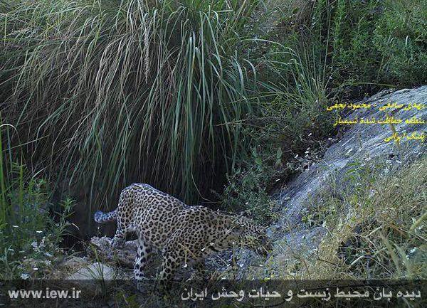 پلنگ دیده شده در شیمبار
