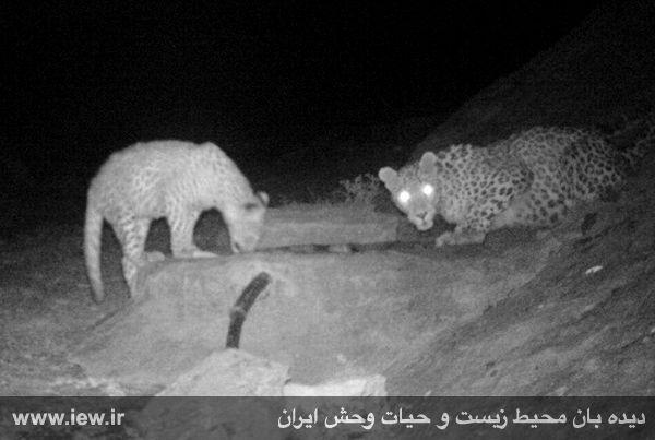 عکسهای از کمال قوچ پارک ملی توران | دیده بان محیط زیست و   حیـات وحش ایران mimplus.ir