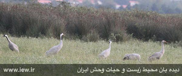 [تصویر:  dorna-bujagh.jpg]