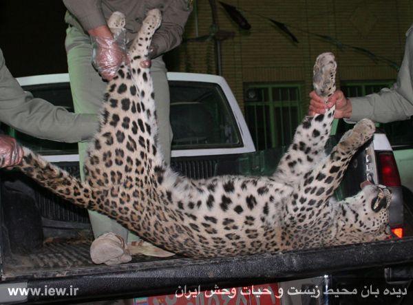 پلنگ ایرانی