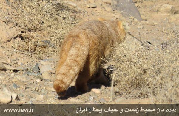 زنده گیری یک گربه پالاس