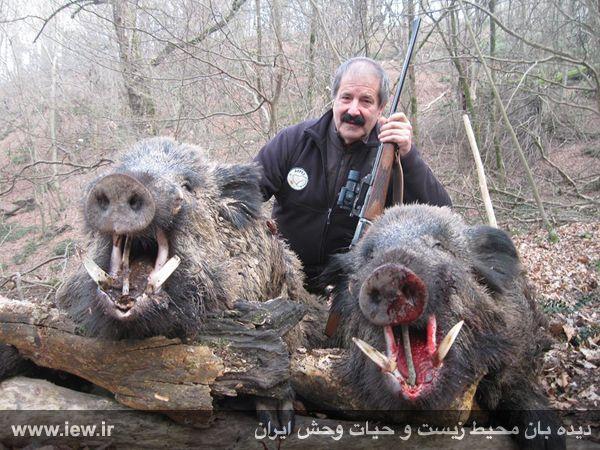 عکس خوک های ایرانی