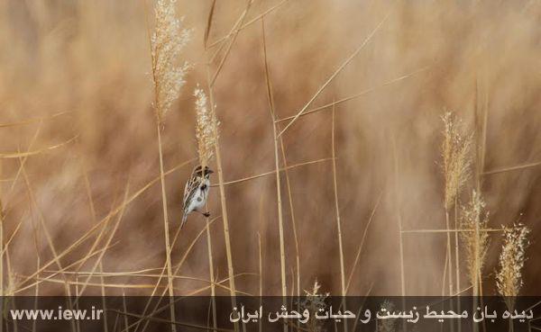 مشاهده و زنده گیری زردپره تالابی برای نخستین بار در استان کرمان