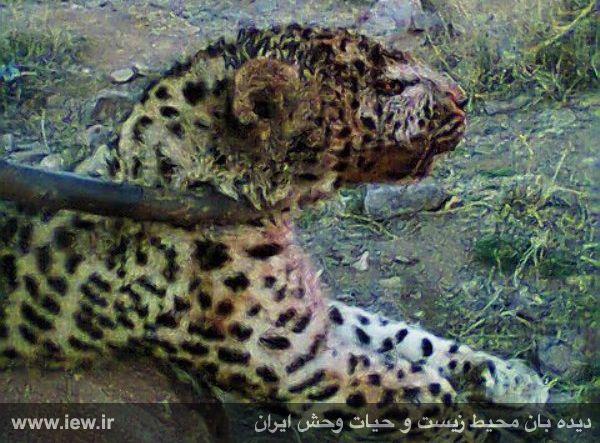 کشتار بیرحمانه یک پلنگ ماده با ضربات چوب و سنگ در شهرستان تایباد